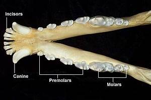 Deciduous Teeth Eruption Chart Canine Dental Anatomy Chinaroad Lowchens Of Australia