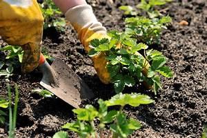 Planting Florida Strawberries Strawberry Sue