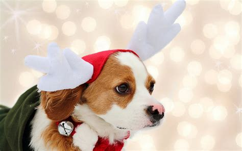 Free download christmas puppies wallpaper. Christmas Dog Wallpaper ·① WallpaperTag