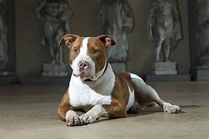 Brown And White Pitbull Pictures to Pin on Pinterest ...