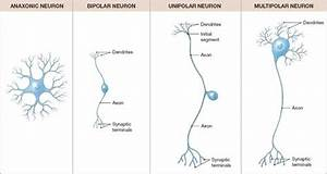 Neuron Structure And Classification - Ch  12 Nerves