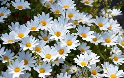 Daisy Flower Desktop Backgrounds Laptop Pattern Watercolor
