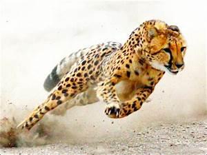 Vitesse Des Animaux : quizz le gu pard l 39 animal terrestre le plus rapide quiz animaux felins ~ Medecine-chirurgie-esthetiques.com Avis de Voitures