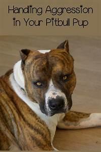 Aggressive pitbull dogs for Aggressive dog training tips