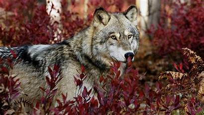 Wolf Wallpapers Awesome Wonderful Strong Plants Between