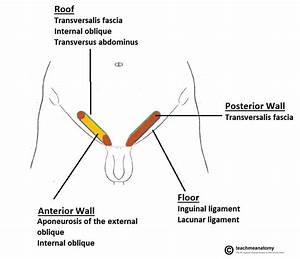 The Inguinal Canal - Boundaries - Contents