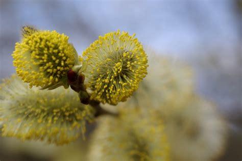 wilg bloem gratis stock foto s rgbstock gratis afbeeldingen