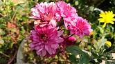 小紅菊,扦插枝條,辰采居莊園。   Yahoo奇摩拍賣