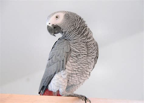 gray parrot african grey parrot knowledge base