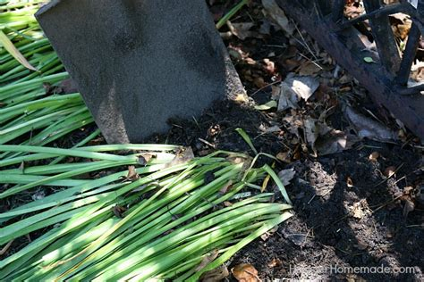 how to divide and replant daffodil bulbs hoosier