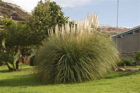A Great Guide To Pampas Grass Maintenance