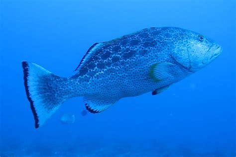 habitats phys mating groupers eavesdropping creepy isn natural survival