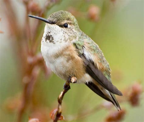 wednesday wings glorious hummingbirds bird canada