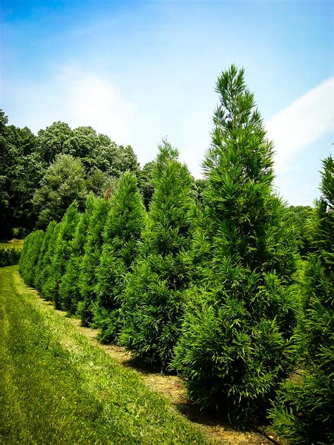 cryptomeria japanese cedar trees yoshino tree evergreen dragon cypress japonica shrubs evergreens sold read center