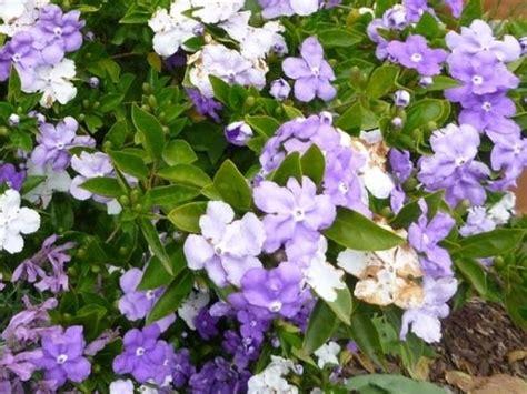piante ricanti per terrazzo piante per terrazzo piante da terrazzo caratteristiche