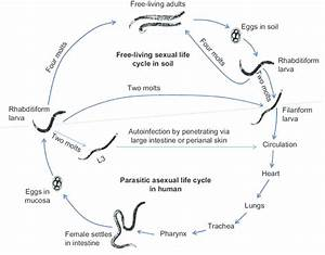 The Strongyloides Life Cycle Is Complex With Its