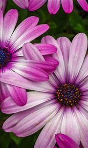 Pink Daisy Beautiful Pink Flowers Photo Download Free ...