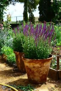 Lavender in Clay Pot