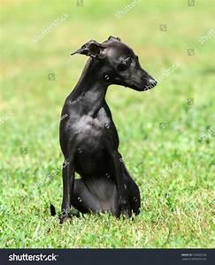 stock photo a black puppy purebred italian greyhound
