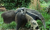 Baby Giant Anteater | Flickr - Photo Sharing!