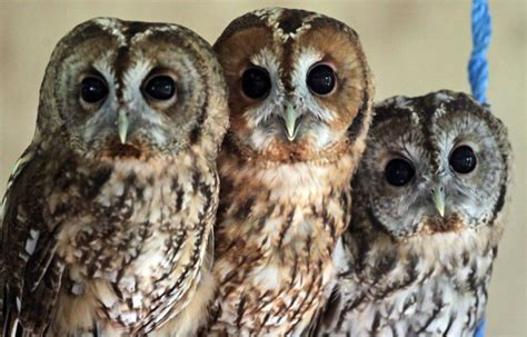 Types Of Owls Types Of