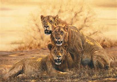 Lions African Lion Three Combes Simon Animals