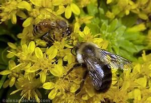 Bees – MYRMECOS
