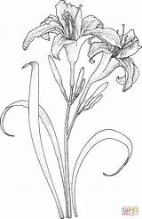 Coloring Lily Lilies Pages Drawing Printable Silhouettes Paper sketch template