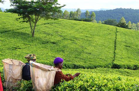 roaming  satemwa tea plantation malawi adventure bagging