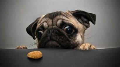 Pug Interesting Pugs Wallpapers Greedy Eyes Looking