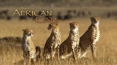 african cats film saves   acres  african