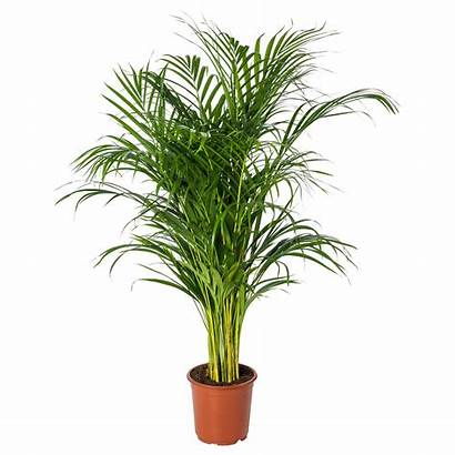Dypsis Lutescens Potted Palm Areca Plant Ikea