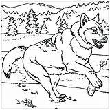 Wolf Coloring Pages Print Animals Children Printable Grade Worksheets Reading 7th Math sketch template