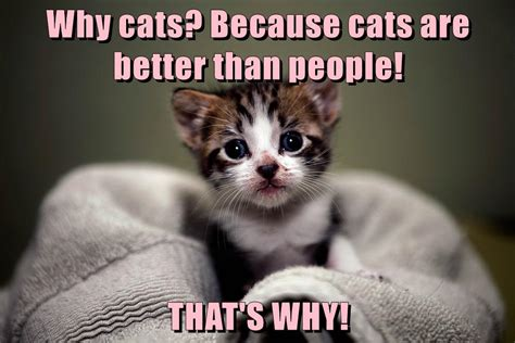 better cat than cats meme why cheezburger because lap sitting cute kitten funny