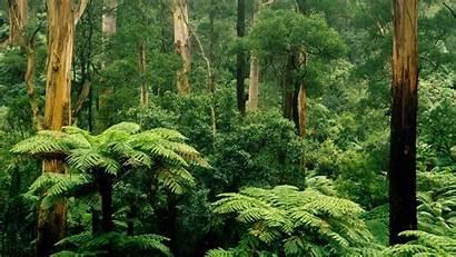 Trees Forest Australia Victoria Sherbrooke Bing Gum