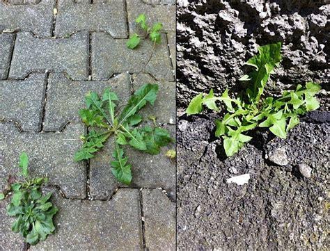 unkraut kleine weiße blüten magnesiumchloridl 246 sung gegen l 228 stiges unkraut frag mutti