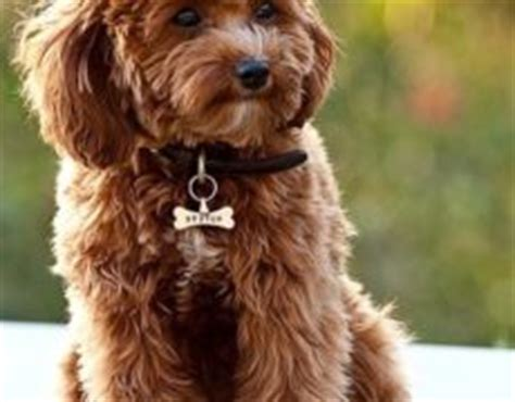 Cavapoos Do They Shed by Cavapoo Dogs Cavapoo Grown Cavapoo Images Cavapoo