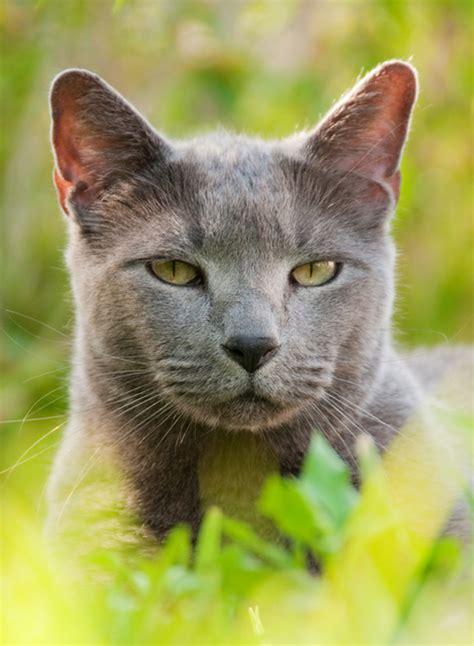Russisch Blau   Katze   Wesen und Eigenschaften