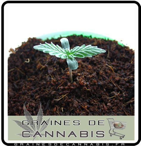 chambre de pousse cannabis la germination