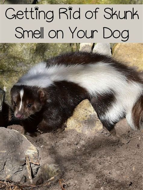 get rid of skunk smell getting rid of skunk smell on your dog the o jays skunk smell and sodas
