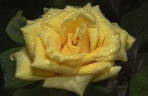 Water Drops Roses Astonishing Wallpapers HD ...