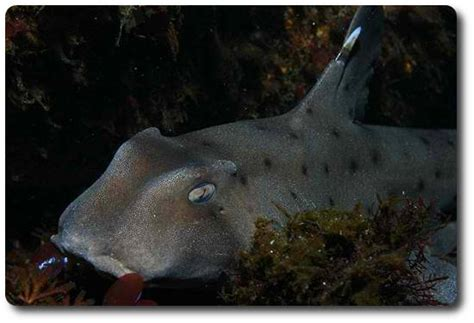 The Horn Shark Is A Fascinating Species Of Shark