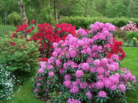 how to plant a rhododendron shrub rhododendron english roseum backyard garden pinterest english pictures of and nurseries