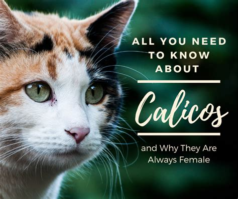 calico cats female why always most calicos money mean these pethelpful they