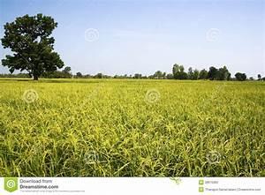 Tree And Rice Stock Photos