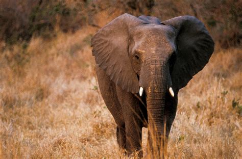 African elephant Fauna & Flora International
