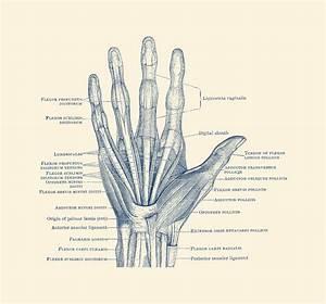 Ligaments And Bones - Human Hand Diagram