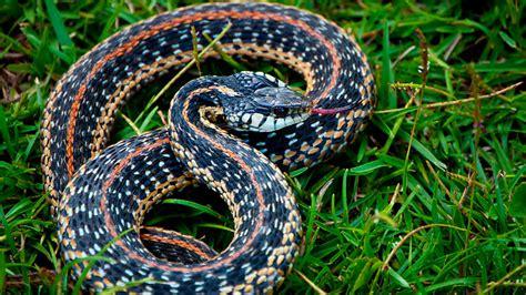 Snake I.D. - Louisiana's snakes identified - Louisiana ...