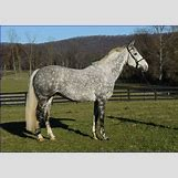 Dapple Grey Thoroughbred | 700 x 499 jpeg 111kB