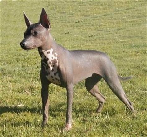 Dogs That Shed The Least by Xoloitzcuintle Dog Breed Information And Pictures